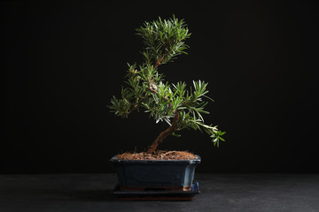 Japanese bonsai plant on black stone table. Creating zen atmosphere at home