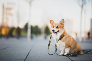 Zelfklevend Fotobehang Hond Happy welsh corgi pembroke dog portait holding a leash during a walk in the city center