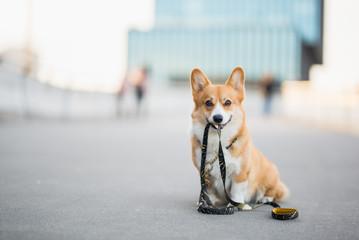 Happy welsh corgi pembroke dog portait holding a leash during a walk in the city center Fotobehang