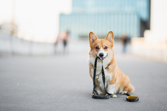 Happy welsh corgi pembroke dog portait holding a leash during a walk in the city center