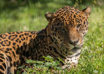 Wall Mural - Jaguar