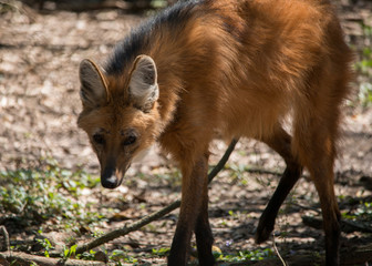 Wall Mural - Maned Wolf