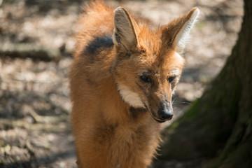 Fototapete - Maned Wolf