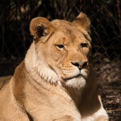 Fototapete - Lioness
