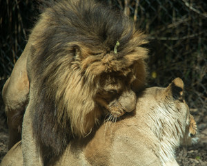 Fototapete - Lion and Lioness mating