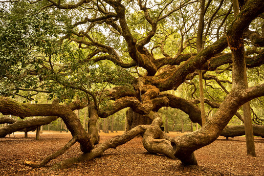 Angel Oak is a Southern live oak located in Angel Oak Park on Johns Island near Charleston, South Carolina USA. The tree is estimated to be 400-500 years old.