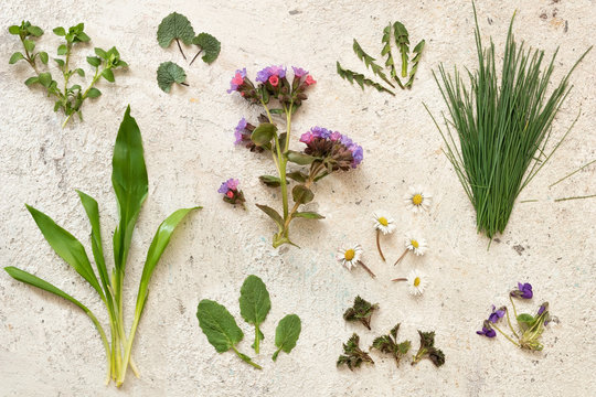 Lungwort, wild garlic, chickweed, young nettle and other spring medicinal herbs and wild edible plants