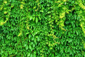 Creeper vine. Hedge texture, tree ivy, green nature background. Wild vine leaves on wall Fototapete