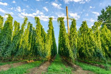 Green hops field. Fully grown hop bines. Hops field in Bavaria Germany. Hops are main ingredients in Beer production