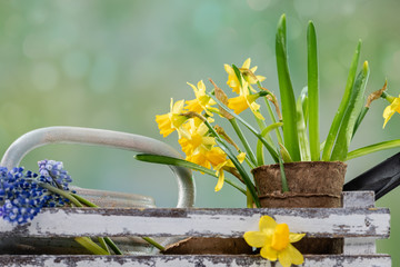 Photo sur Toile Narcisse Flowers and garden tools on table with green defocused background