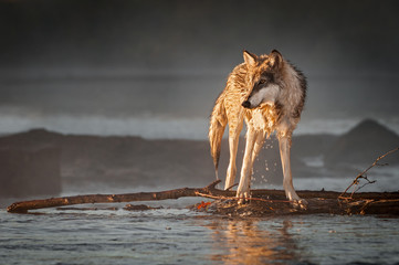 Fotomurales - Backlit Grey Wolf (Canis lupus) Turns Left on River Autumn