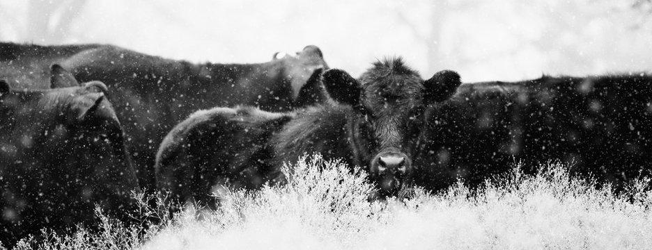 Black Angus calves in snow close up.