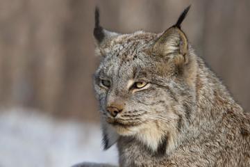 Aluminium Prints Lynx The Canada lynx (Lynx canadensis)