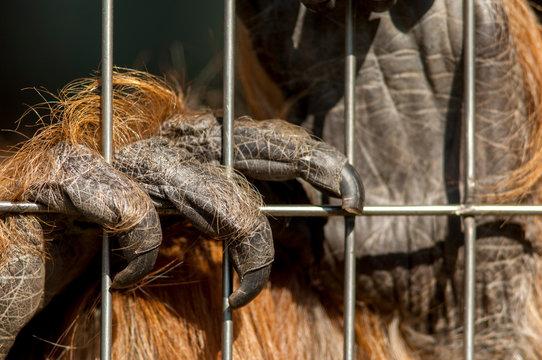 Die Hand eines Orang-Utans klammert sich an Käfigstangen fest