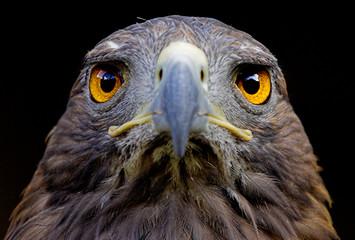 Close up des Kopfes eines Steinadlers Fototapete