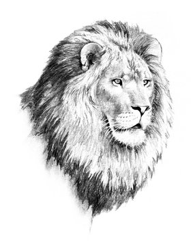 lion illustration of lion head and mane in hand drawn pencil sketch isolated on white background, strong dangerous and powerful animal, african safari wildlife