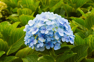 Fond de hotte en verre imprimé Hortensia Blue hortensia flowers, , big open bush, green background