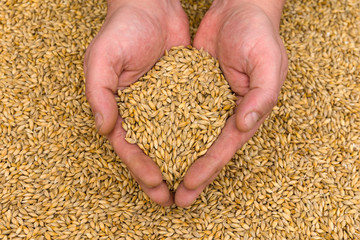 Hands hold the grain. Barley Grains Close Up.