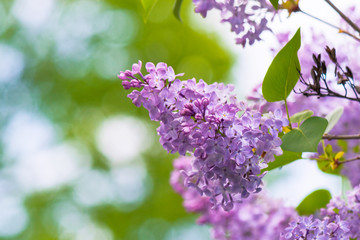 pink lilac flowers closeup on a branch