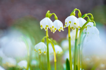 white snowflake flowers blooming on the forest glade. beautiful side lit nature scenery. sunny weather in spring