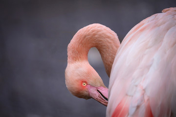 Poster - Pink flamingo is cleaning feather