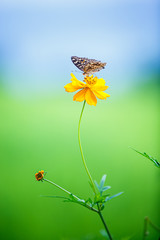 Foto op Aluminium Madeliefjes blooming yellow cosmos flowers with butterfly in blue sky , DOF effect