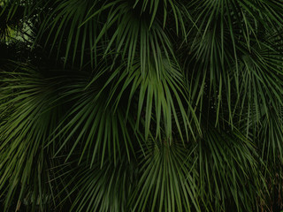 Natural background with palm tree leaves. Dark toned photo of tropical tree foliage.
