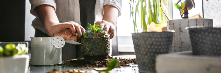 gardening home. Girl replanting green pasture in home garden.indoor garden,room with plants banner Potted green plants at home, home jungle,Garden room,gardening, Plant room, Floral decor.