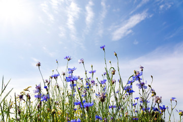 Wall Mural - Wild flowers on sunny blue sky, spring meadow