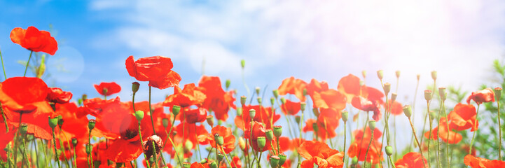 Foto op Canvas Poppy Red poppy flowers on sunny blue sky, poppies spring blossom