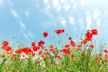 Foto op Canvas Pool Red poppy flowers on sunny blue sky, poppies spring blossom, green meadow with flowers