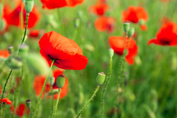 Wall Mural - Poppies spring blossom, green meadow with red poppy flowers