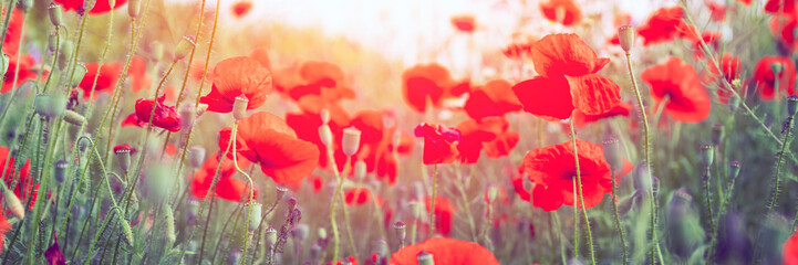 Zelfklevend Fotobehang Klaprozen Sunny meadow with red poppy flowers