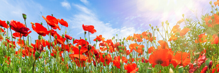 Poster Poppy Red poppy flowers on sunny blue sky