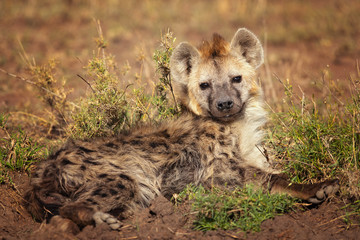 Spotted hyena (Crocuta crocuta), also known as the laughing hyena is a hyena species, currently classed as the sole extant member of the genus Crocuta, native to Sub-Saharan Africa.