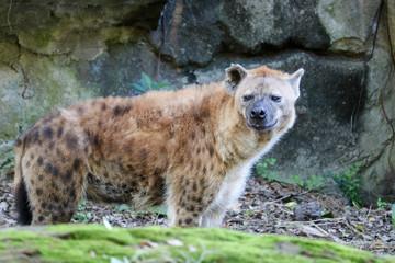 Garden Poster Hyena Spotted Hyena at Taipei Zoo