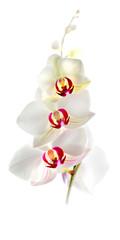 Canvas Prints Orchid Weiße Orchidee (Phalaenopsis) Zierpflanze vor weißem Hintergrund, freigestellt