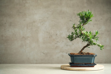 Deurstickers Zen Japanese bonsai plant on light table, space for text. Creating zen atmosphere at home
