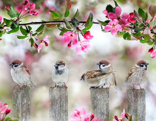 Fototapete - cute little birds sparrows sitting on wooden fence under blooming pink Apple tree branch in may garden on Sunny day