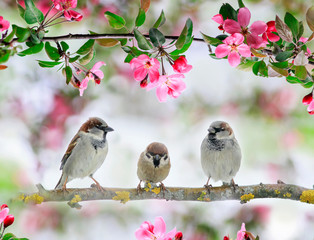 Wall Mural - three cute little birds sparrows sit on an Apple tree branch with pink flowers and buds in a may Sunny garden