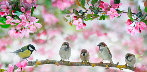 Wall Mural - cute little birds sparrows and a tit sit on a branch of a blooming pink Apple tree in the may garden
