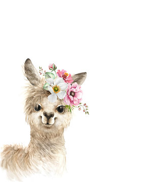 alpaca, llama cute animal with a bouquet of pink flowers on his head, watercolor illustration on white background