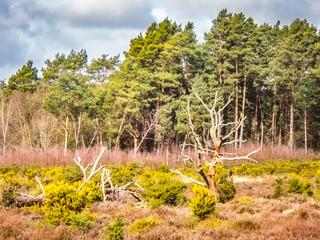 Frensham Heath in Surrey UK with Pine Trees