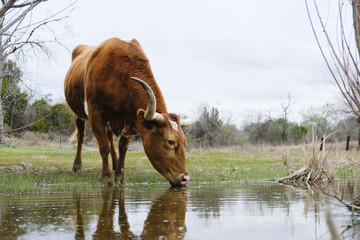 Wall Mural - Texas Longhorn cow drinking water from pond in rural landscape.