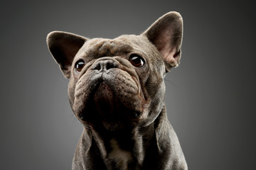Fotorolgordijn Franse bulldog Portrait of an adorable french bulldog