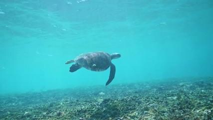 Fototapete - Swimming with Hawksbill Sea Turtle (Eretmochelys imbricata), underwater 4k shot