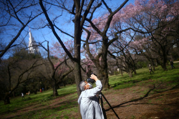 A visitor wearing a protective face mask takes photos of early flowering Kanzakura cherry blossoms  at the Shinjuku Gyoen National Garden in Tokyo