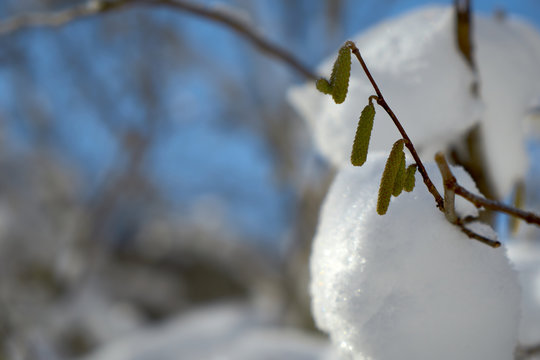 Aspen buds in the winter forest.