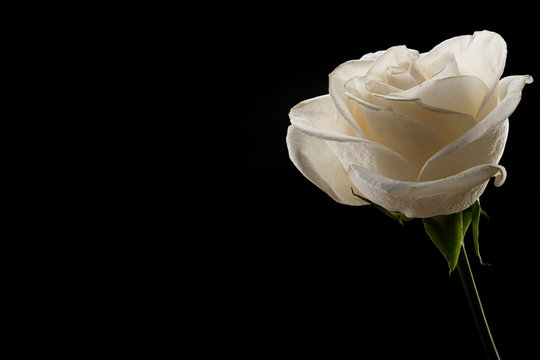 White rose on a black background