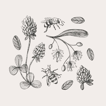 Hand drawn set on the theme of beekeeping. Honey bees fly around clover and linden flowers vector illustration on a light isolated background. Botanical drawings in vintage style.